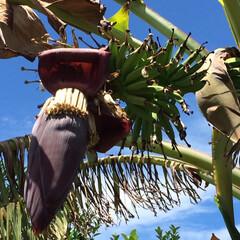 奄美大島/バナナの実り/バナナの木/暮らし 今年も裏庭のバナナが実りました🍌 梅雨明…