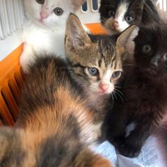 仔猫/保護猫/ねこ/暮らし チビニャンズがウチに来てボチボチ 2週間…(2枚目)