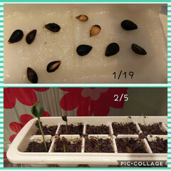 果樹/園芸/りんご/種から育てる 冷蔵庫に待機していたりんごの種が発根し始…