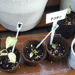 苗木/園芸/果樹/デコポン/甘夏/柚子/... 種から育てるシリーズ、金柑、柚子、デコポ…