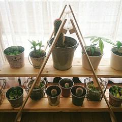 コーヒーの木/バンブー/サボテン/寄せ植え 多肉/観葉植物/グリーンのある暮らし すのこで棚を作って多肉食物や観葉植物を日…