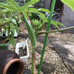 家庭菜園 旦那が作った家庭菜園🍆 雨ばからで、 な…