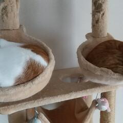 ちくわとほたて/お昼寝/保護猫