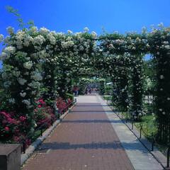 ガーデン/ガーデニング/バラ/バラ園/植物/風景/... 薔薇のトンネル@横浜 山下公園 様々な種…