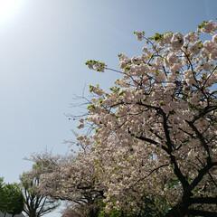 いちょう坂/品川/さくら/桜/サクラ 品川のいちょう坂。 桜、なんとか咲いてる…(1枚目)