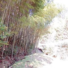 サンセベリア/つばき/姫龍金花/竹藪/レモンの木 snowさんに教えて貰ったサンセベリアを…(6枚目)