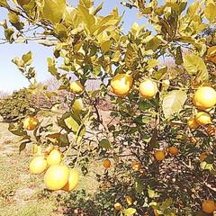 サンセベリア/つばき/姫龍金花/竹藪/レモンの木 snowさんに教えて貰ったサンセベリアを…(10枚目)