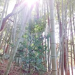 サンセベリア/つばき/姫龍金花/竹藪/レモンの木 snowさんに教えて貰ったサンセベリアを…(9枚目)