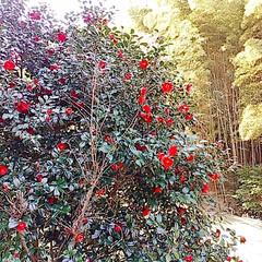 サンセベリア/つばき/姫龍金花/竹藪/レモンの木 snowさんに教えて貰ったサンセベリアを…(5枚目)