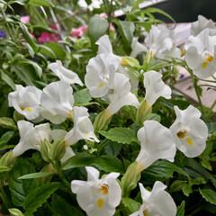 ベランダガーデン/Flower 🌈🌺🌴🏖🌻🦩٩(*´︶`*)۶おはよ〜♬…
