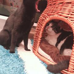 黒猫/ハチワレ猫 くまちゃん、怖いよ💦 ゼウスも引いてるよ…