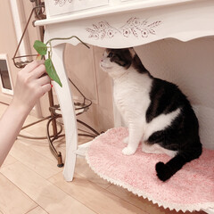 黒猫/ハチワレ猫 こんばんは😊 皆様お疲れ様です♡  現在…