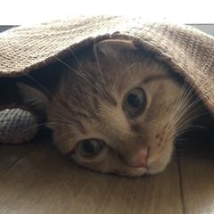 茶トラ男の子/1歳2ヶ月/保護猫/愛猫/癒し/ビビり猫/... ☀Good Мorning☀  毎日ずっ…