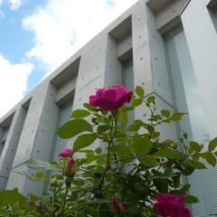 バラ/ばら/おしゃれ/建築/建築家/インテリア バラの老木、御年ン十歳。 これくらいの長…
