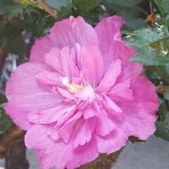 Flower/ガーデン 🌴☀️🍧🍉    駐車場の植え込みに咲い…