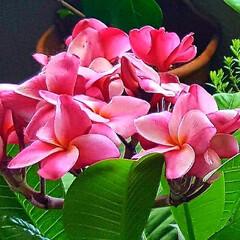 Flower/プルメリア/ベランダガーデン 🌴🌺⛱🌼🍂🍁🌾  🍃🌀🍃強風が吹くとヤバ…(2枚目)
