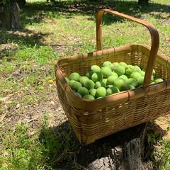 BEVERAGE DISPENSER ビバレッジ ディスペンサー ダルトン M111-36 | DULTON(その他キッチン、台所用品)を使ったクチコミ「 実家の梅の木から収穫して、 梅シロップ…」(4枚目)