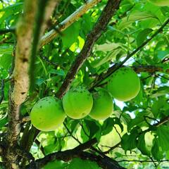 BEVERAGE DISPENSER ビバレッジ ディスペンサー ダルトン M111-36 | DULTON(その他キッチン、台所用品)を使ったクチコミ「 実家の梅の木から収穫して、 梅シロップ…」(3枚目)
