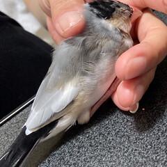 文鳥ってかわいいです/遊び疲れてグッスリです/手で寝る文鳥/だいふく