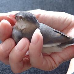 人懐っこい文鳥/手で寝る文鳥/だいふく