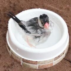 もふもふ/だいふく/文鳥/水浴び