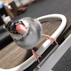 こんにちは/最近凛々しくなりました/文鳥/だいふく