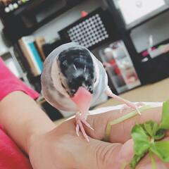 おはようございます/豆苗食べて/手の中で寝る/文鳥/だいふく