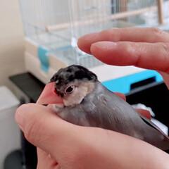 こんにちは/とってもあたたかい/握り文鳥/だいふく/文鳥の日 握り文鳥
