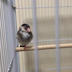 こんにちは/一本足でリラックス/文鳥/だいふく