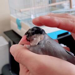 こんにちは/とってもあたたかい/握り文鳥/だいふく/文鳥の日 握り文鳥(2枚目)