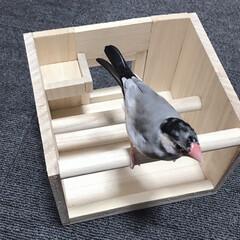 新しい遊び場完成/めっちゃ遊びます/今回はお気に入りです/文鳥/だいふく/DIY