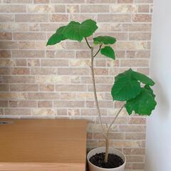 緑のある暮らし/レンガ調クロス/観葉植物のある暮らし/観葉植物/ウンベラータ/インテリア ウンベラータ⚘ 我が家のリビングに飾って…(1枚目)