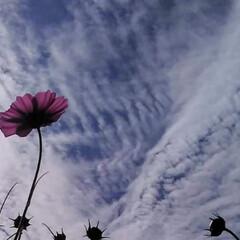 空/コスモス 秋空と秋桜