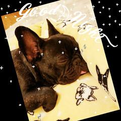 わんこ 我が家の愛犬、フレンチブルドッグの海(か…