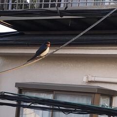鳥/朝/自宅向かいの電線 自宅向かいの🏠のガレージに鳥の巣がありひ…(1枚目)