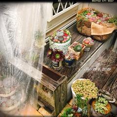 gardening/garden/庭/小さな庭/庭作り/雨の日/... ☔️の日多肉ちゃん♪  雨が続くとビニー…