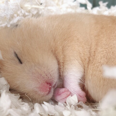 寝顔/ハムスター/LIMIAペット同好会/フォロー大歓迎/ペット/ペット仲間募集/... まるで天使の寝顔💕