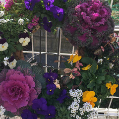 ハンギング/ガーデニング/暮らしを楽しむ/ウッドデッキ/玄関 ハンギングが好きで春まではこのビオラが主…(3枚目)
