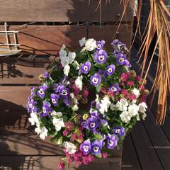 ハンギング/ガーデニング/暮らしを楽しむ/ウッドデッキ/玄関 ハンギングが好きで春まではこのビオラが主…(2枚目)