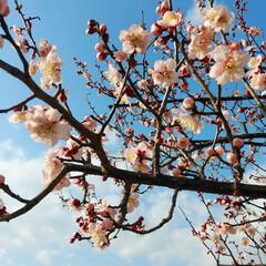 梅/青空/風景/春 可愛い梅の花❣昨日はいい天気だったから、…(1枚目)