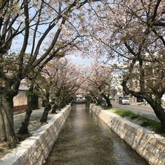 桜/散歩 早いですね。 もう散りはじめました  護…