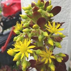 ガーデニング 今日の黄色の花♪ 小雨も花や野菜にはイイ…(1枚目)