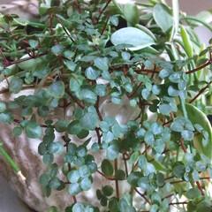 ガーデニング リビングにある植物♪ GWの山登りは誰と…(3枚目)