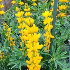 ガーデニング 今日の黄色の花♪ 小雨も花や野菜にはイイ…(2枚目)