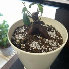 マイナスイオン/癒し/おうち時間/シェフレラ/ガジュマル/モンステラ/... うちの可愛い観葉植物たち♡(4枚目)