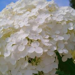 スタート/7月/自然が好き/青空/純白/あじさい/... モフモフアナベル💠(1枚目)
