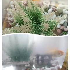 金魚 去年の夏祭りから約1年。 1匹減りました…
