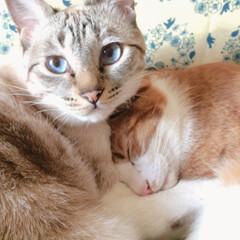 ぽこちゃん/だいちょん/うちの子/ペット/猫 だいちょんはぽこちゃんのことが大好きです…