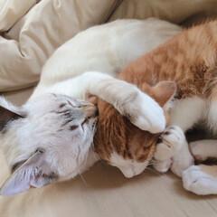 ぽこちゃん/だいちょん/うちの子/ペット/猫 ぽこちゃんとだいちょん♡ 弟が可愛くて仕…