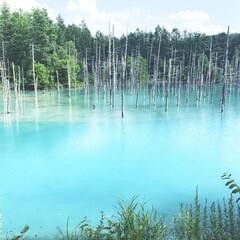 旅の景色/青い池/美瑛/旅行/旅 北海道美瑛の青い池 何かの成分でこの色ら…